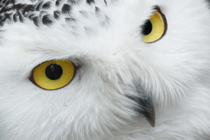 Eyes of the Snowy Owl