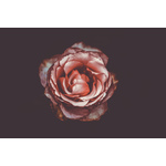 Pink rose isolated on dark background