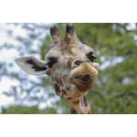 Giraffe sticking tongue out