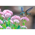 Colibri on pink flowers