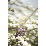 Owl on blossomed branch