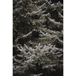 Evergreen branches with frosting