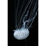 Jellyfish in the dark
