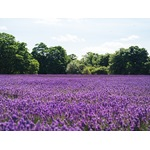 Lavender field in Banstead