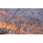 Tall grass with sunset sky