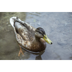 Brown duck swimming in pond