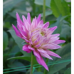 Dahlia on long stalk