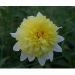 Single Dahlia in flowerbed