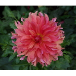 Drying single dahlia flower