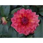 Single Dahlia with flower bud