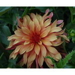 Close up of single Dahlia