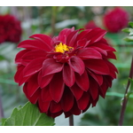 Large Dahlia in autumn garden