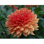 Red-orange Dahlia in summertime