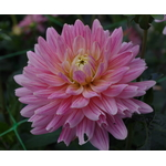Afbeelding van lilic Dahlia close-up