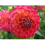 Dahlia in the shape of ball