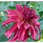 Image of Dahlia flower