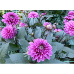 Purple Dahlia flowers