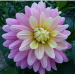 Violet Dahlia on Flower exhibition