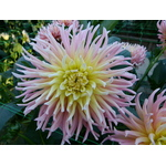 Cactus Dahlias exhibited