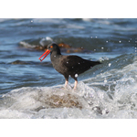 Oystercatcher in the wave