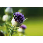 Thistle flower and a bumblebee