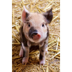 Portrait of a cute piglet