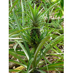 Pineapple plant in plantation