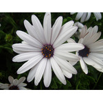 White daisy macro photo