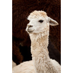 Head of white llama isolated on brown