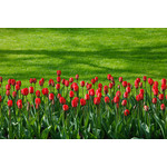 Red tulips row