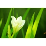 Green background with white flower in focus