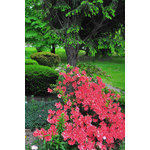 Azaleas shrub in bloom