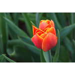 Single orange tulip