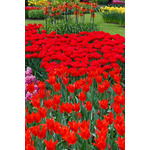 Red tulips in park