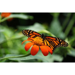 Monarch butterfly on the Mexican sunflower