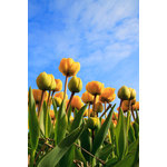 Yellow tulips and sky