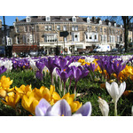 Colorful crocuses in park