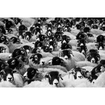 Image of sheep flock