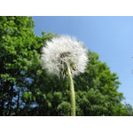 White dandelion in nature