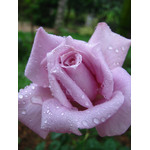 Purple rose with drops
