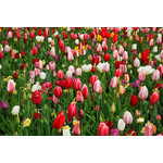 Colorful tulips in field