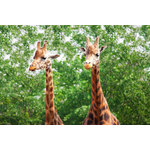 Two giraffes in Chester zoo