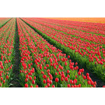 Tulip rows on farm