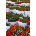 Tulips wraped with paper