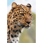 Portrait of leopard's head