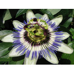 Passion flower macro photo