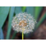 Dandelion seeds close up