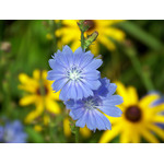 Blue cornflower in focus