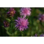 Purple cornflower close up