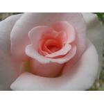 Soft pink rose macro photo